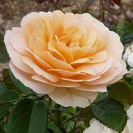 Rosemantic Amber®
