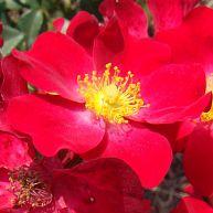 Poppy Rose®