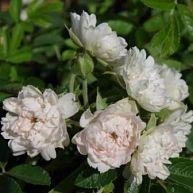 White Grootendorst