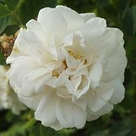 "Rosa alba 'Maxima"""