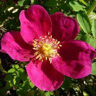 Rosa Pimpinellifolia Rubra