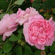 Mary Rose®