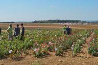 Visite de la parcelle de culture des rosiers.