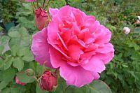Les rosiers Buatois