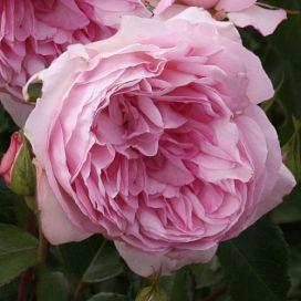 Roseraie du Châtelet®