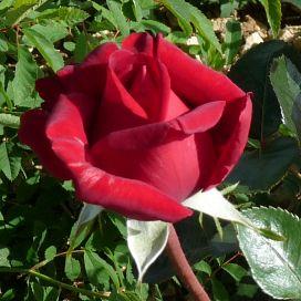 Rouge Adam®