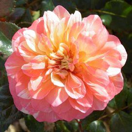 La Rose des Impressionnistes®