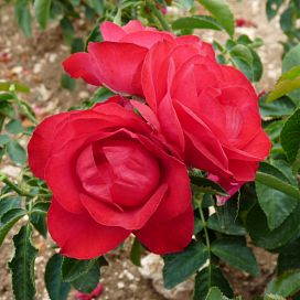 Rose de Pérouges®