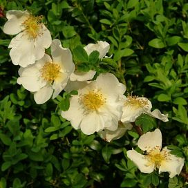 Rosa sericea pteracantha