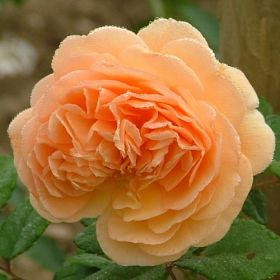 Crown Princess Margareta®