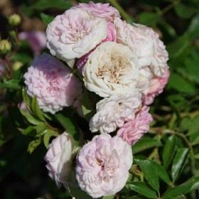 Pink Ghislaine de Féligonde®