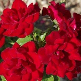 Rose de Fleurie®