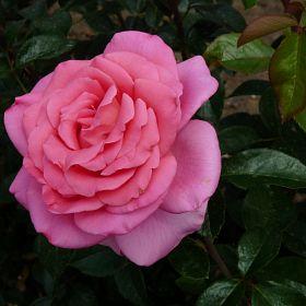 Rose du Mérite®