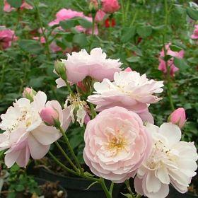 Rose Delacroix®