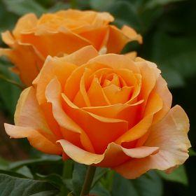 Disting'o Orange®