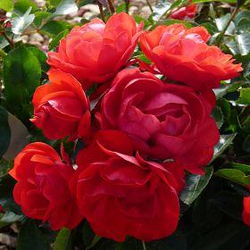 Red Maya®