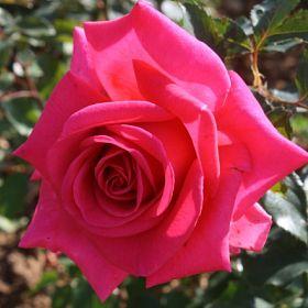 Royal Rose®