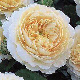Emmanuel® (Crocus Rose)