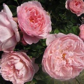 The Alnwick Rose®