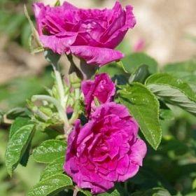 Roseraie de l'Haÿ