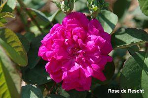 Rosiers anciens & botaniques