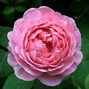 Rosier Constance Spry®