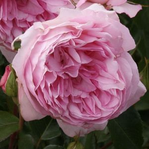 Rosier Roseraie du Châtelet®