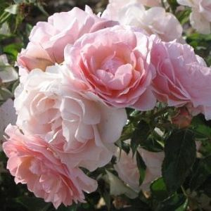 Rosier Rose de Beaune®