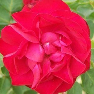 Rosier Cerise Bouquet
