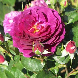 Rosier Purple Eden®