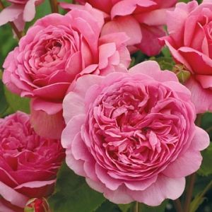 Rosier Princess Alexandra of Kent®