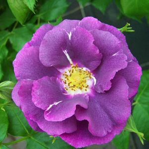 Rosier Rhapsody In Blue®