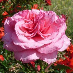 Rosier Pink Voluptia®