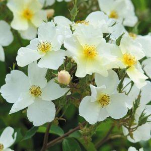 Rosier Kew Garden®