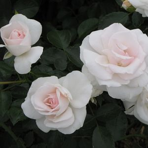 Rosier Aspirin Rose®