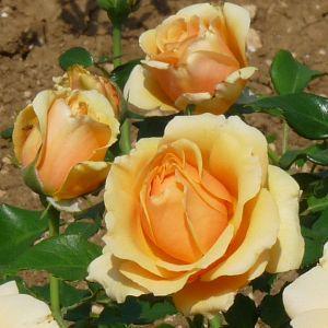Rosier Rose Alleyson®