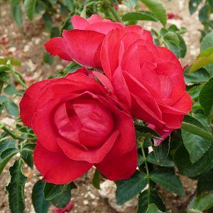 Rosier Rose de Pérouges®