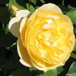 Rosier Golden Celebration®