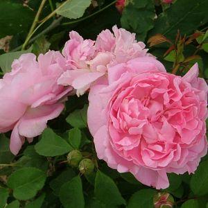 Rosier Mary Rose®
