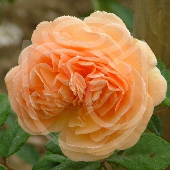 Rosier Crown Princess Margareta®
