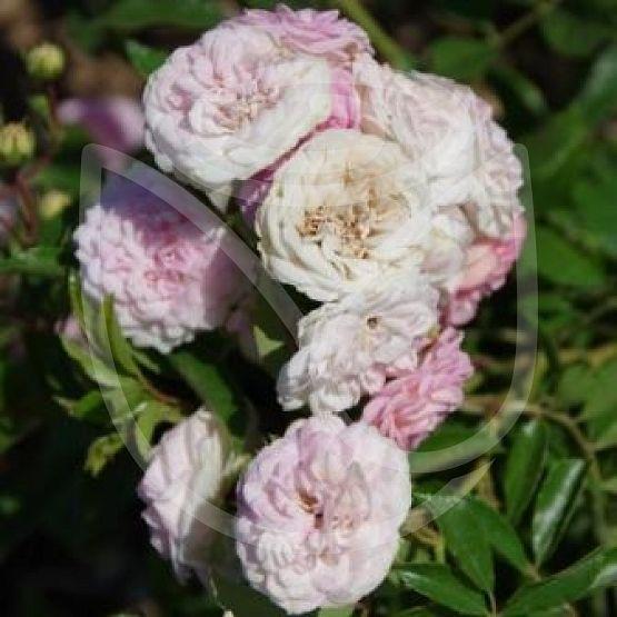 Rosier Pink Ghislaine de Féligonde®