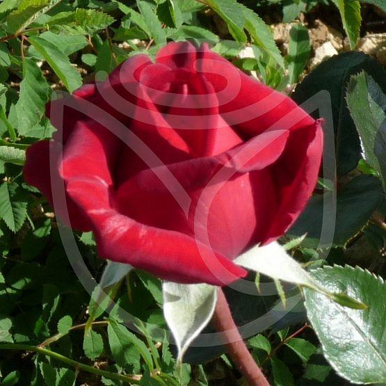 Rosier Rouge Adam®