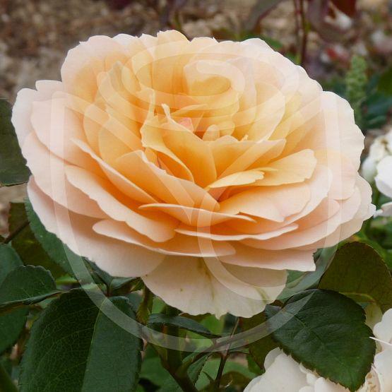 Rosier Rosemantic Amber®