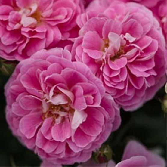 Rosier Lovely pink®