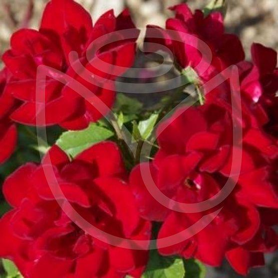 Rosier Rose de Fleurie®