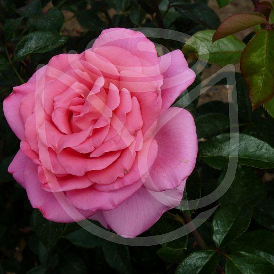 Rosier Rose du Mérite®