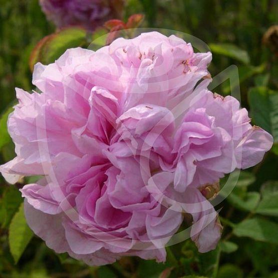 Rosier Blush damask