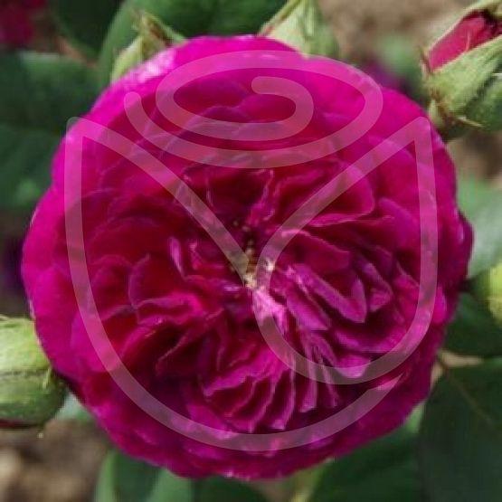 Rosier Purple Lodge®