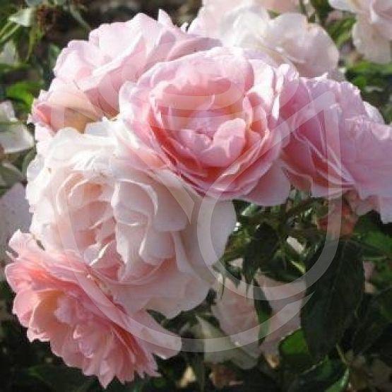 Rosier Rose de Beaune®