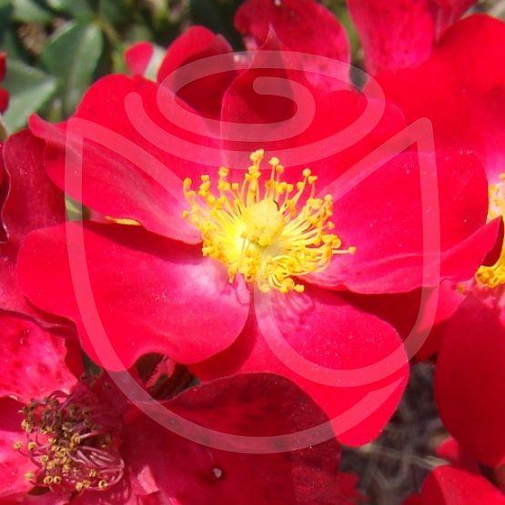 Rosier Poppy Rose®